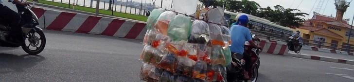 [2013/5/19]バイクで運ばれる大量の金魚