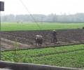 [2013/5/10]畑をたがやす水牛