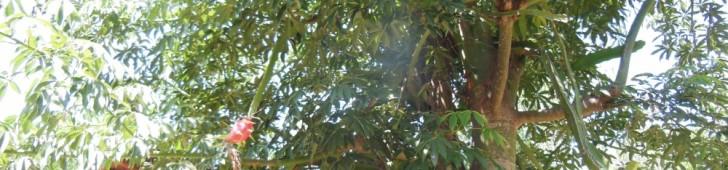 [2013/9/11]気になる木になるドラゴンフルーツ