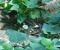 [2013/9/8]片田舎でみかけた畑のキノコ