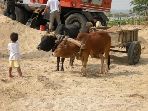 [2013/10/7]牛さんたちの底力