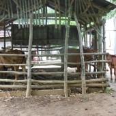[2013/10/11]牛の親子