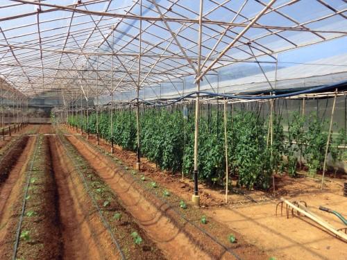 ハウス内、右はトマトを栽培中