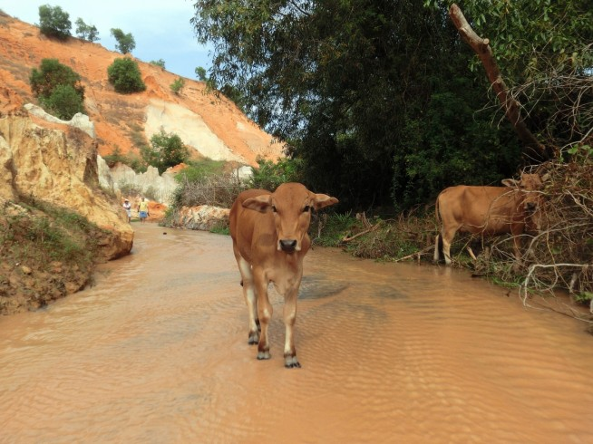 牛も歩いてます