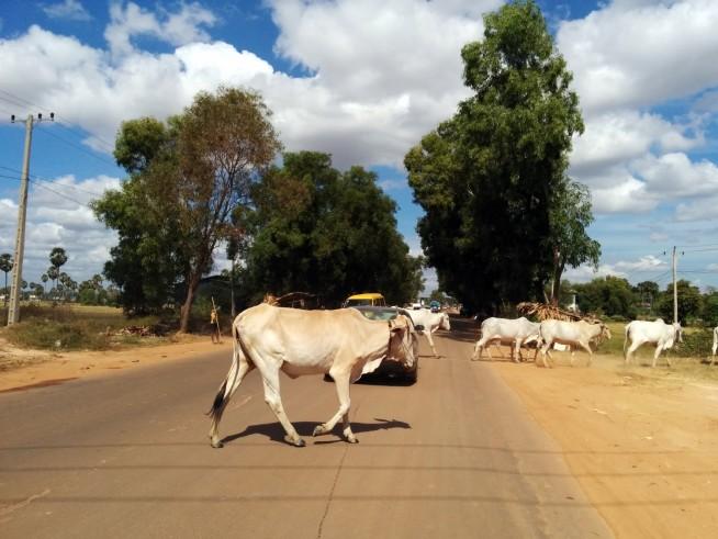 牛の横断待ち