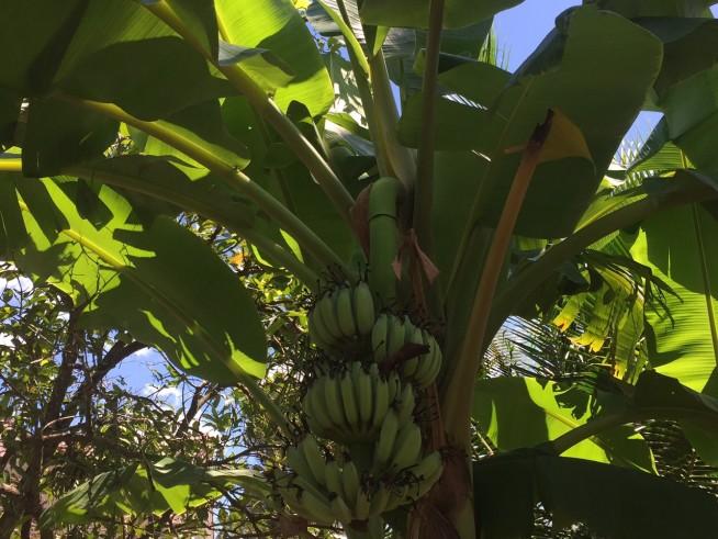 バナナの木。葉っぱが大きいいのが印象的でした。