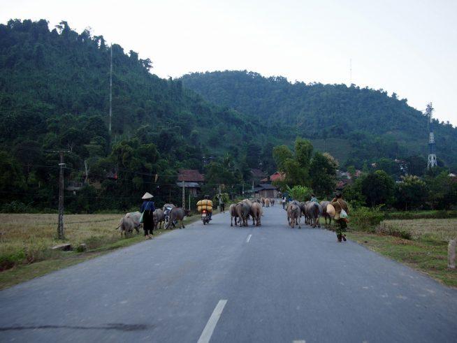 牛の大群に遭遇