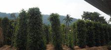 フーコック島に点在する、フーコック名物でもある胡椒農園へ行ってみよう