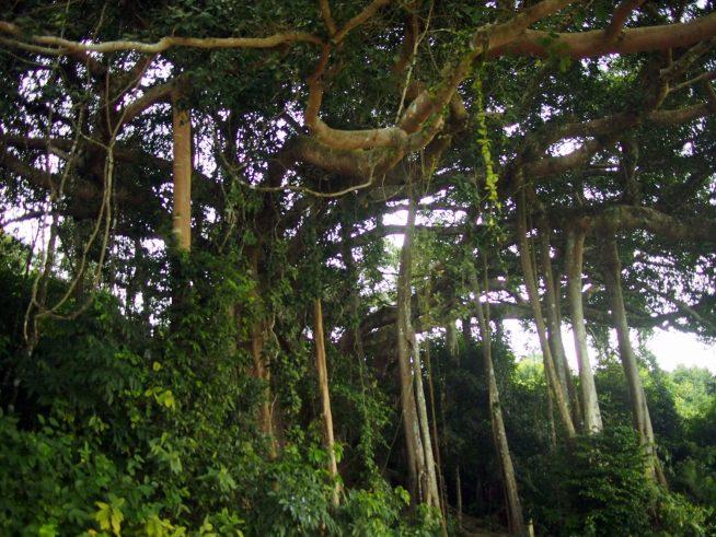 樹齢800年と言われる大きな菩提樹