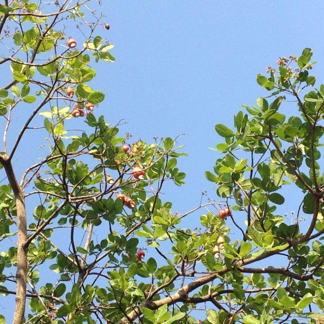 カシューの果実は熟すと自然と落ちてきます