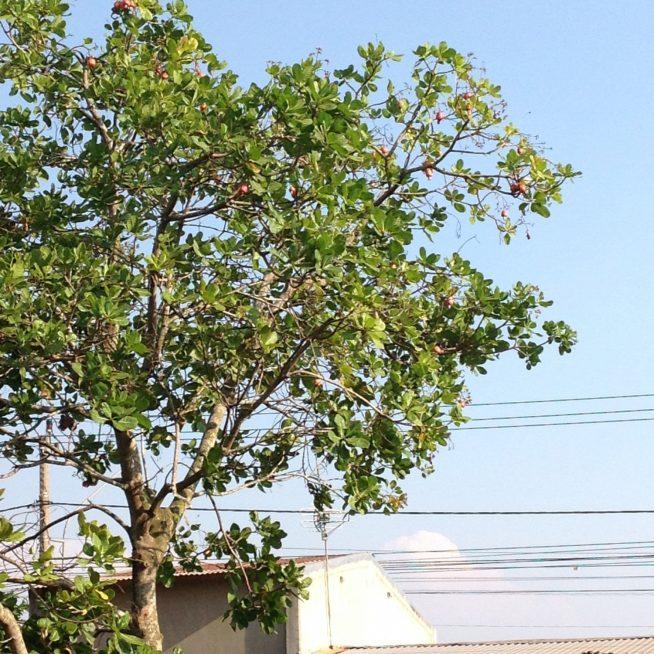 背の高い大きな木の枝先に果実がたくさん!