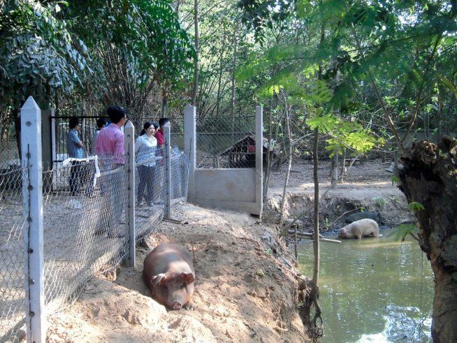 境内にはブタがたくさん飼育されています