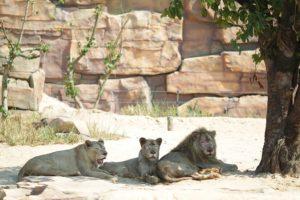 ライオンもこんなに近くで見れる