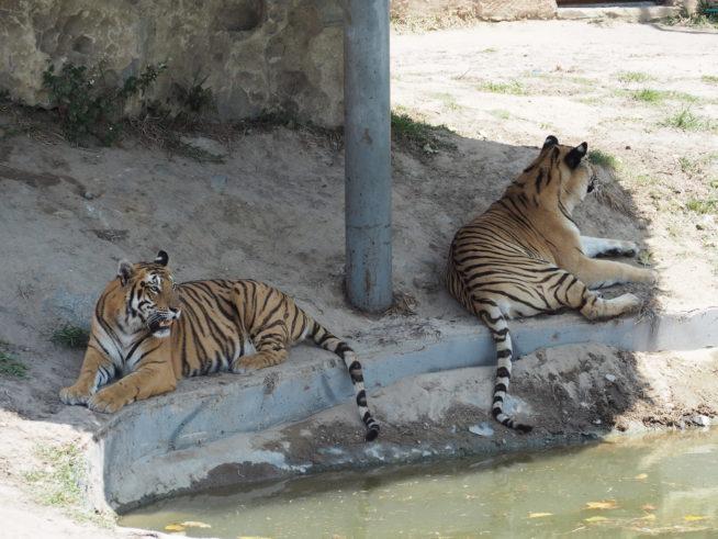 日陰で休憩するトラ