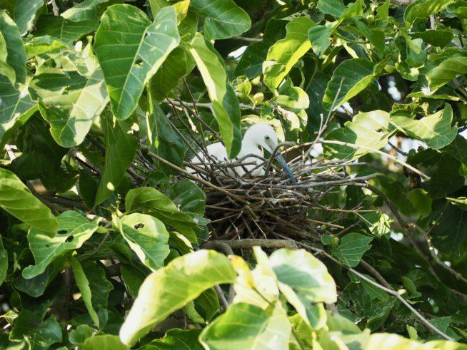 巣で卵を温めている親鳥