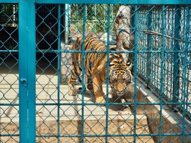 Tiger!!!