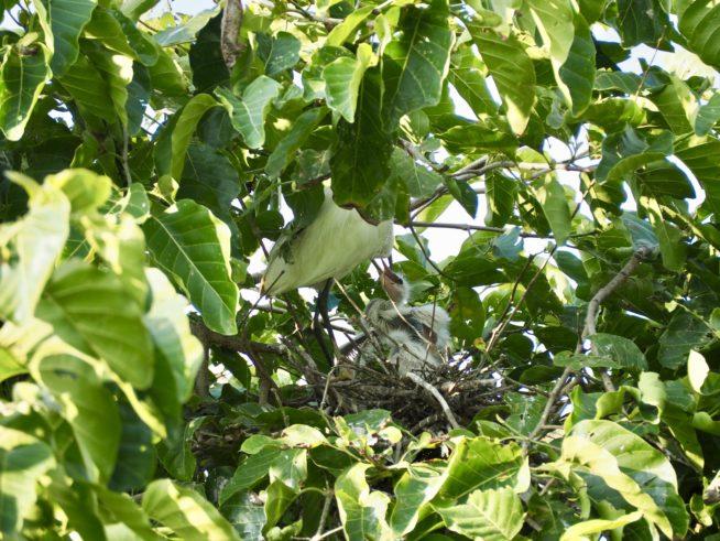 親鳥に餌を求めるヒナ